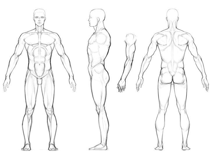 Male Anatomy Orthographic View