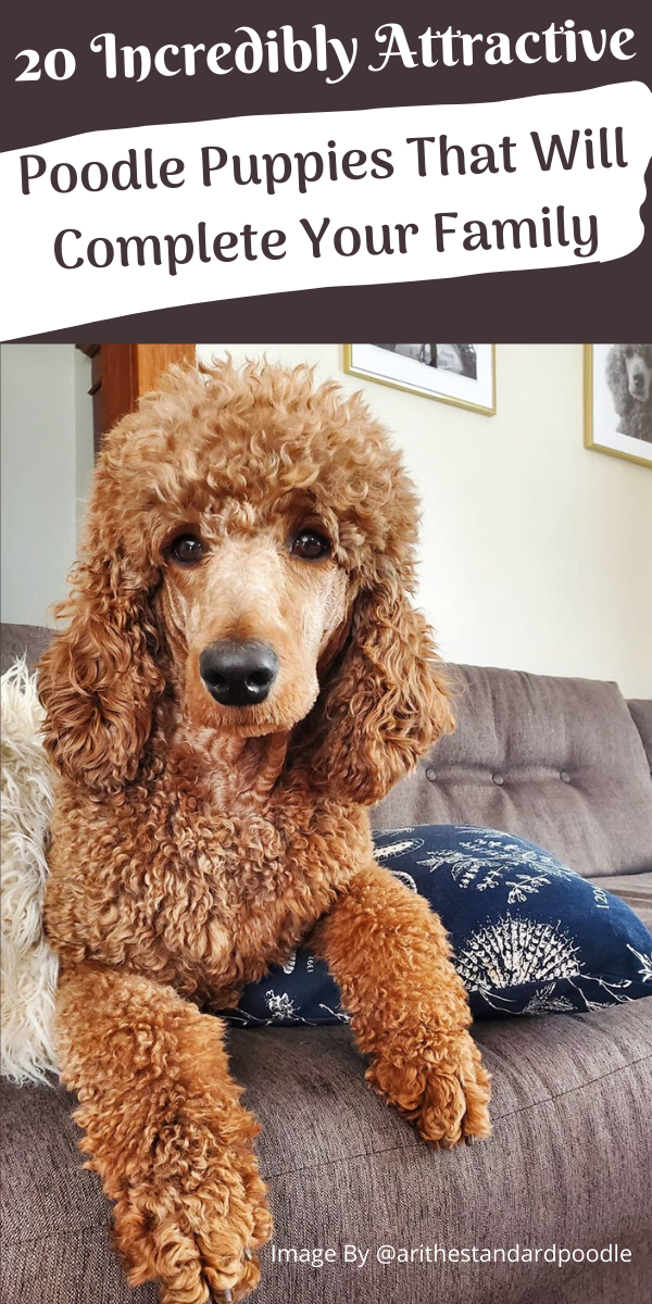 Poodles are considered to be the best breeds to own as there are extremely sensitive and much attached. Poodle puppies are one of the cutest and eye-catching puppies ever. #poodlepuppy #poodlepuppytraining #poodlepuppies #adorablepuppy #whoodlepuppy #puppypoodle #doodlepuppies #babypoodle #poddledog