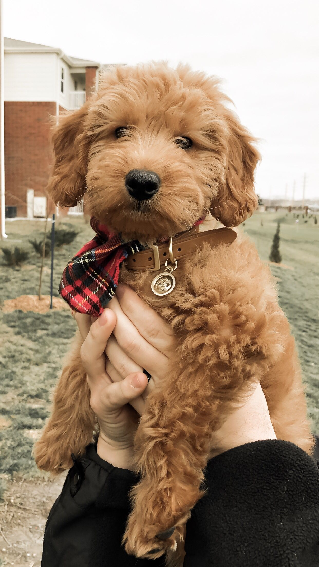 F1 Goldendoodle Goldendoodle Puppy Mini Goldendoodle Red