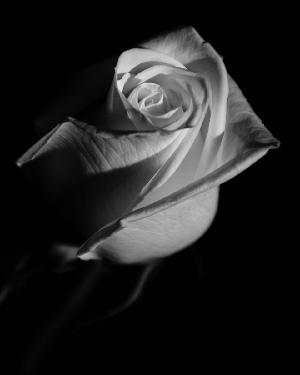 Rose on black is a high contrast black and white photograph of a cut white rose against a black backdrop title rose on black photographer melissa fague