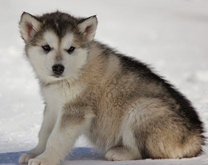 Different Breeds Of Dogs Alaskan Malamute Cute Puppy Pictures