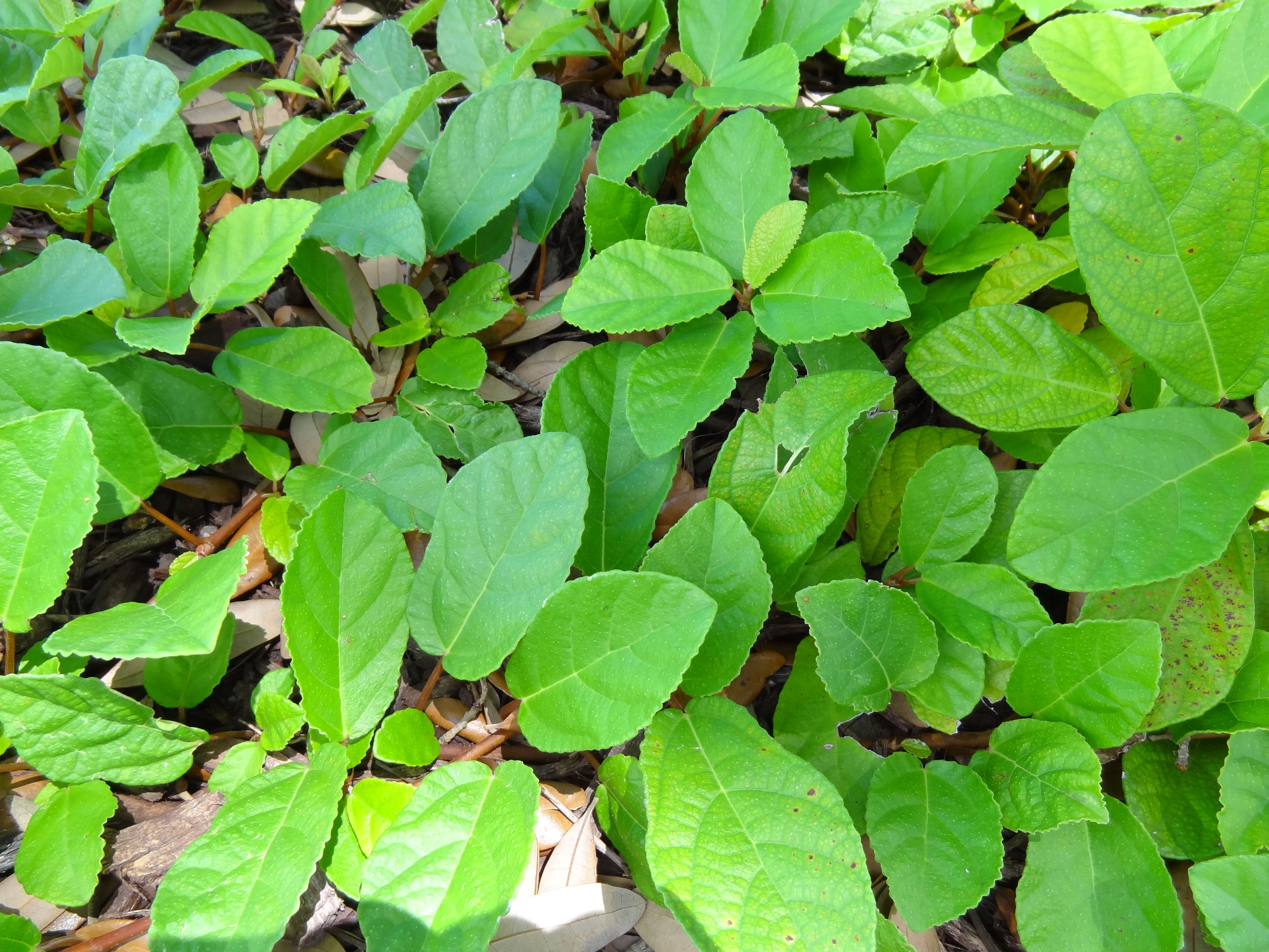 Sandy Leaf Fig Ivy Shade To Sun Ground Cover Evergreen Good Plant For  Houston