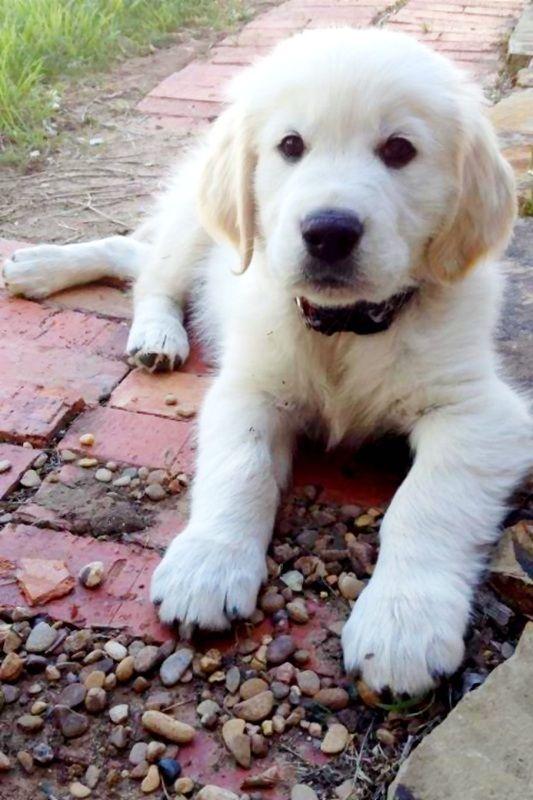 English Cream Retriever So So Cute Puppies Dogs