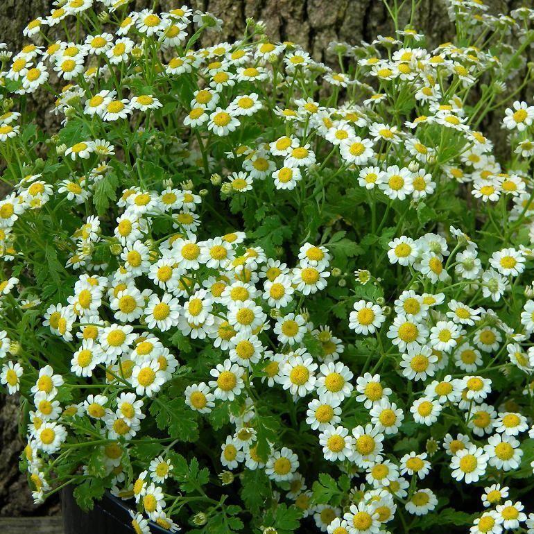 1 X Feverfew Tanacetum Parthenium Perennial Herb Plant Tube Size Healing Herb Plants Summer Flowers To Plant Feverfew Plant