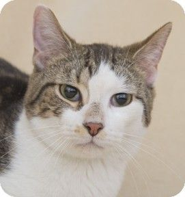Pictures of Tiko a Domestic Shorthair for adoption in