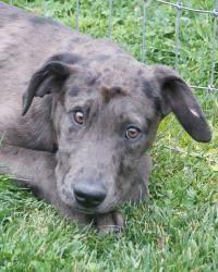Adopt Darius On Great Dane Dogs Dane Dog Labrador Retriever Mix
