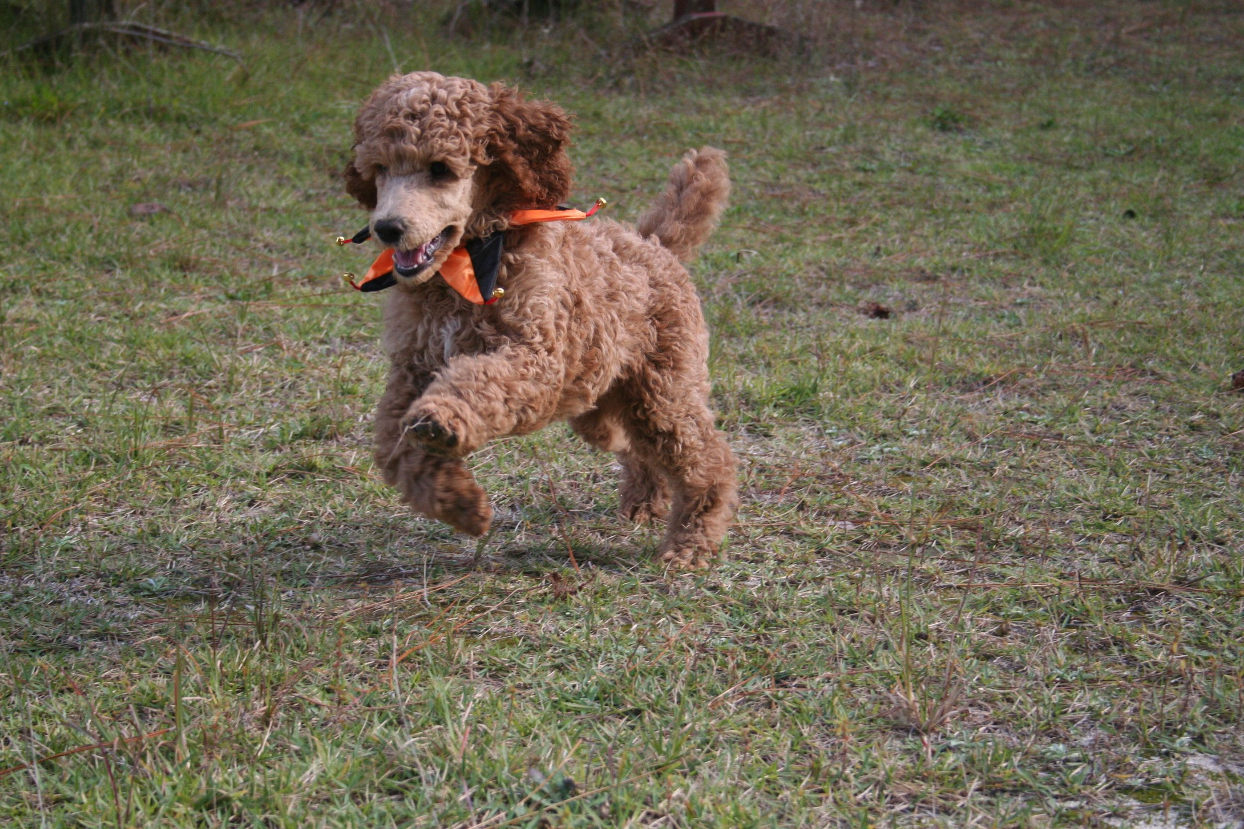 Dakliff Red Standard Poodles Home Poodle Puppies For Sale