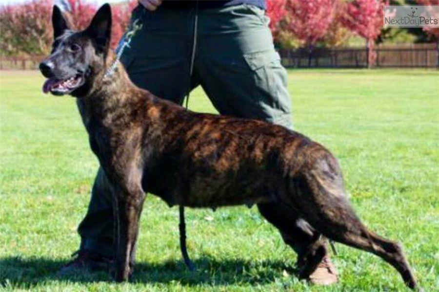Dutchies Dutch Shepherd Puppy For Sale Near York Pennsylvania