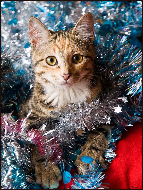 Cybergata Cats Memes New Mexico Christmas Cat Photos Christmas Cats Christmas Animals