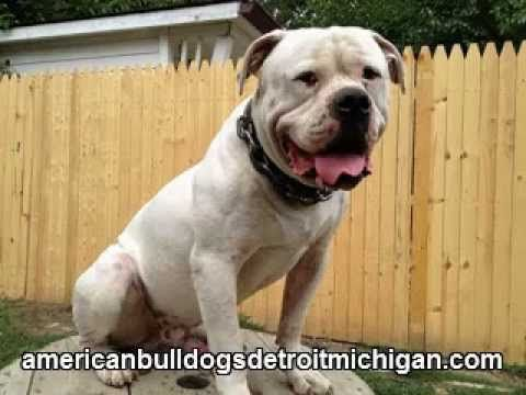 American Bulldog His Head Is Bigger Than A Basketball