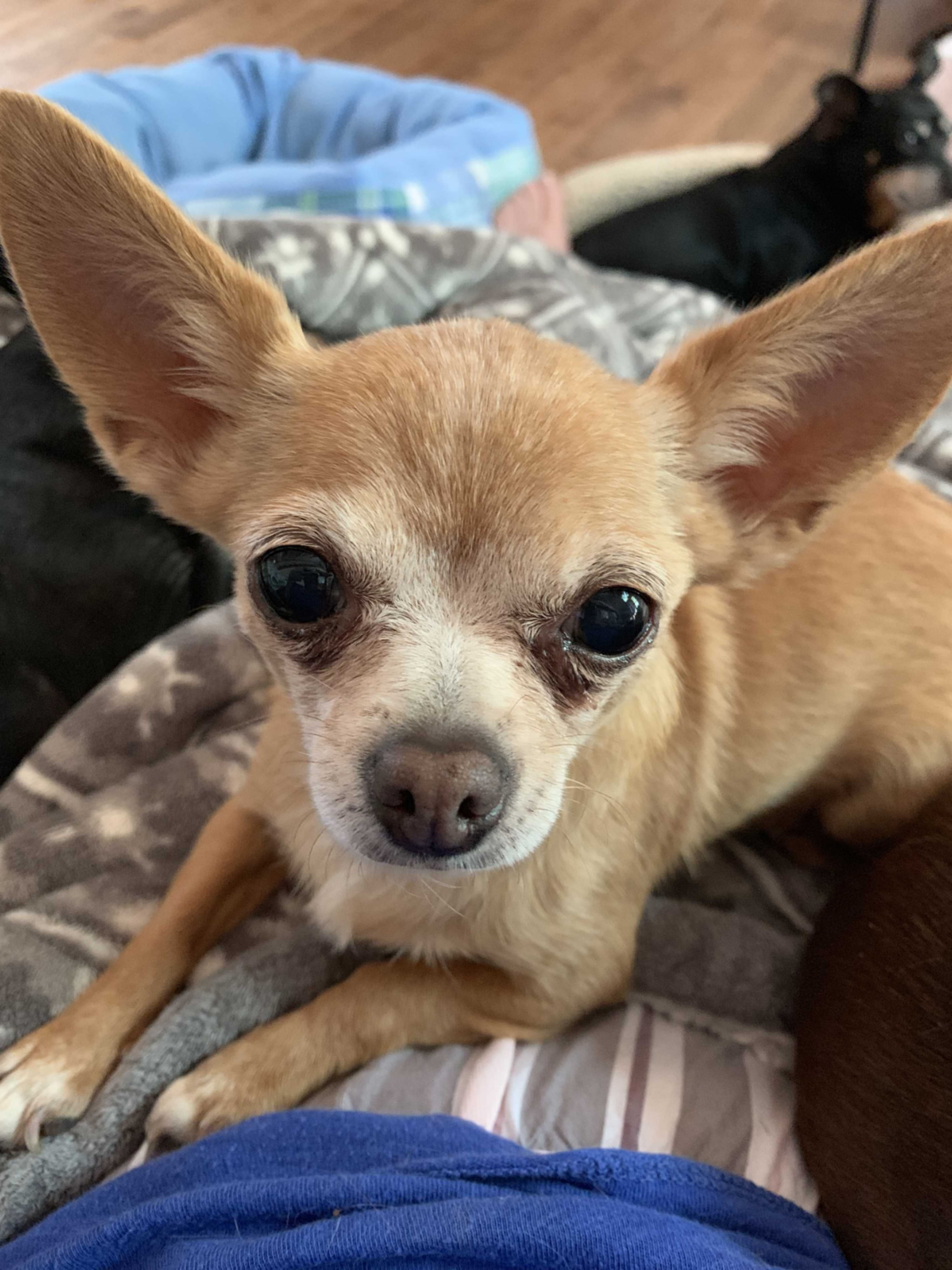 Start your search today! adoptapet adoptadog chihuahua