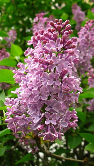 Lilac Syringa Victorian Dictionary Of Flowers Meaning First Emotions Of Love Beautiful Flowers Pretty Flowers Flowers Nature