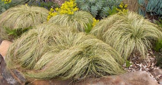 Carex comans Frosted Curls or New Zealand Hair Sedge Annual - carex bronze reflection