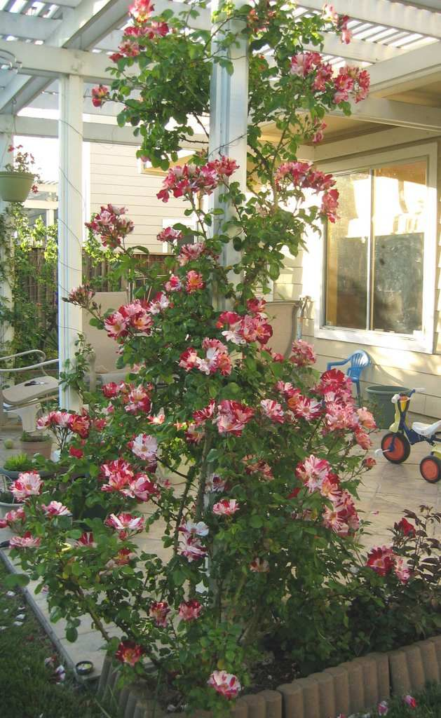 Fourth Of July Climbing Rose Climbing Roses Beautiful