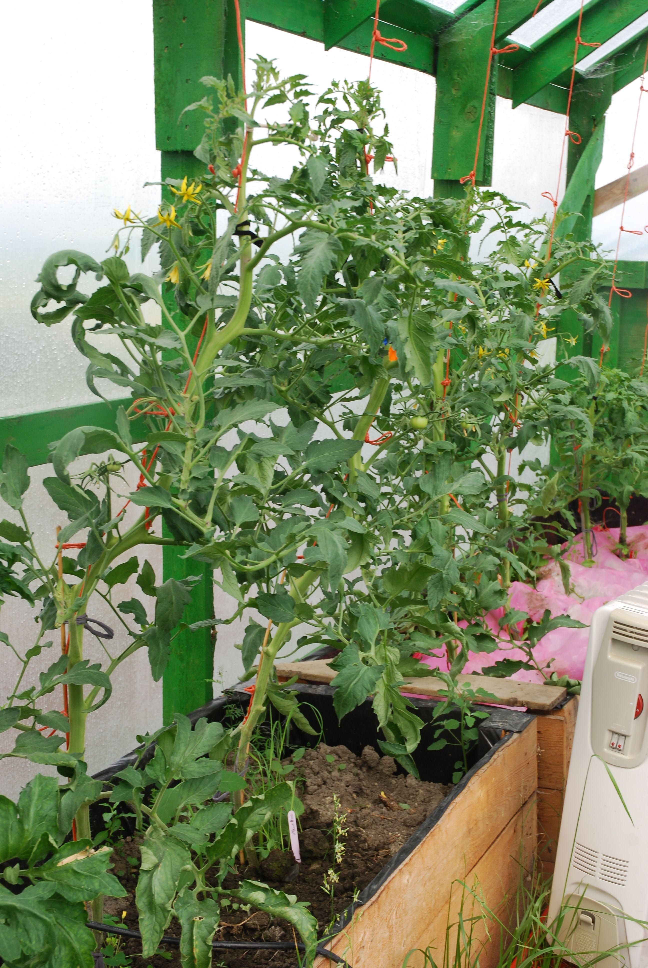 Plant de tomate Muchoo rose de serre et de tomate trust