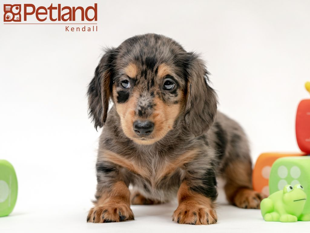 Petland Florida Has Dachshund Puppies For Sale Interested In Finding Out More About This Breed Check Out Our Puppies Puppy Friends Dachshund Puppies For Sale
