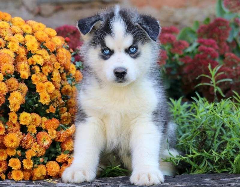 Poe Keystone Puppies Puppies For Sale Health Guaranteed