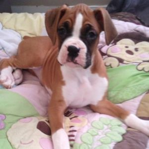 Boxer Puppy Female Boxer Dogs Boxer Dogs Facts Boxer Puppy