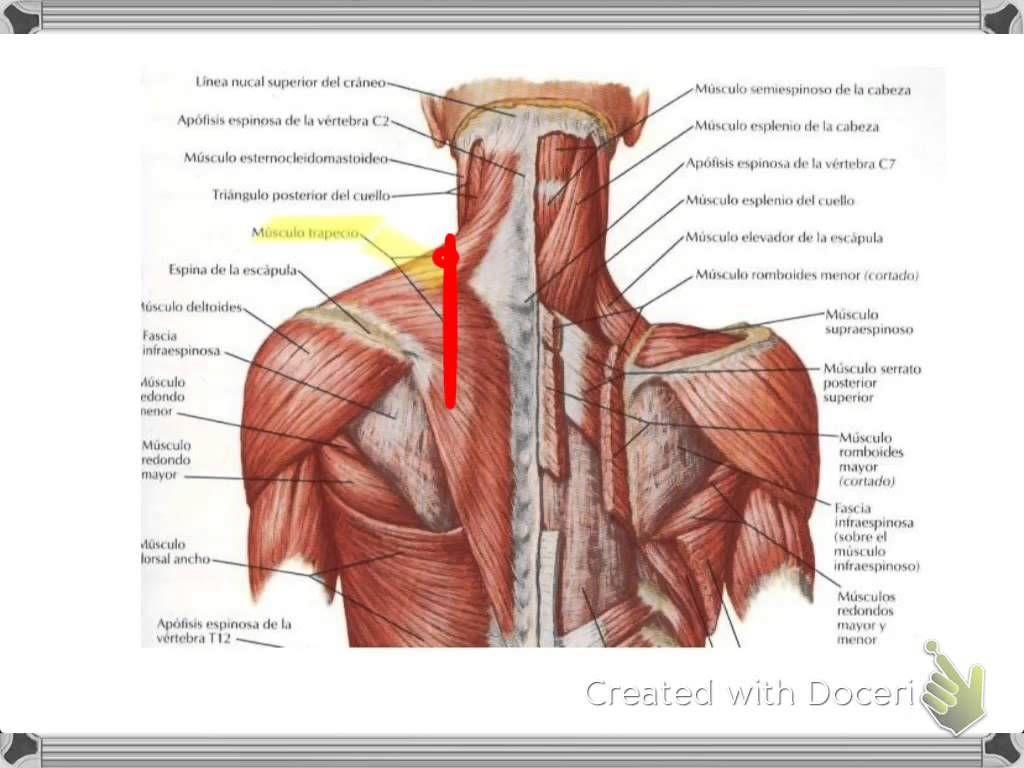 Magnífico Diagrama De La Espalda Humana Fotos - Anatomía de Las ...