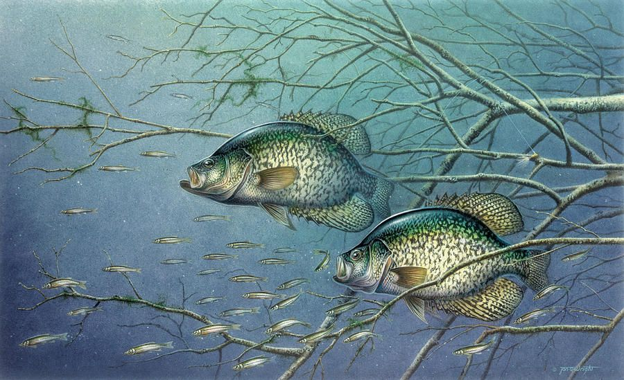 Tangled cover crappie ii painting tangled cover crappie for Crappie ice fishing