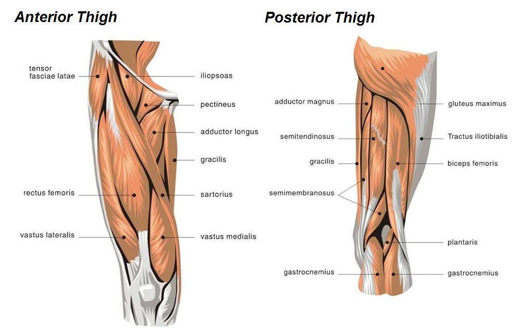 muscle diagram of leg - google search | workout | pinterest, Human Body
