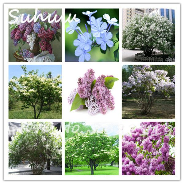 Extremely Fragrant Lilac Flower Seeds 30 Particles Purple Japanese Lilac Clove Beautiful Flower Seeds Lilac Trees Eas Lilac Tree Flower Seeds Beautiful Flowers