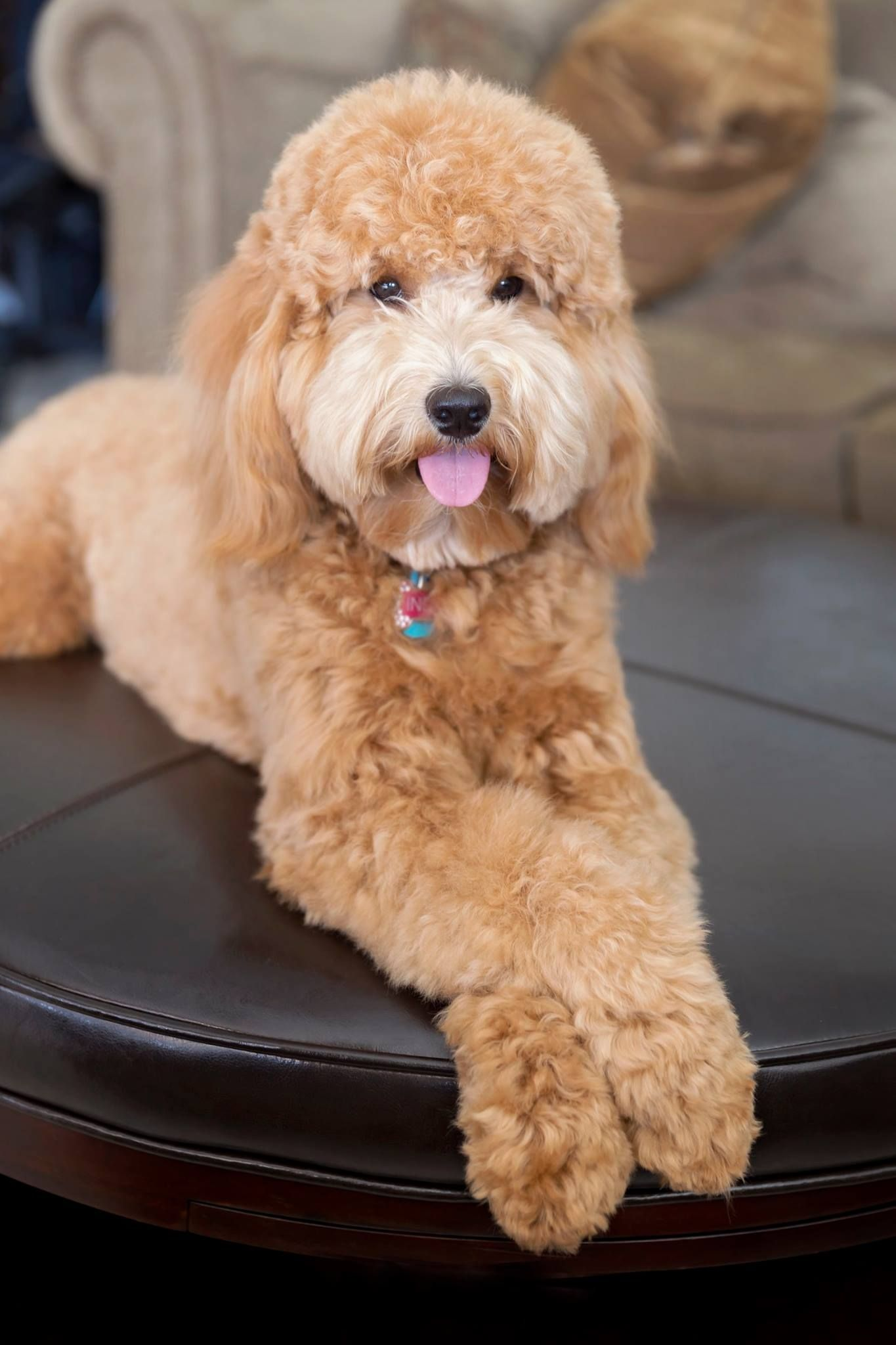 Indy the English Goldendoodle from Moss Creek