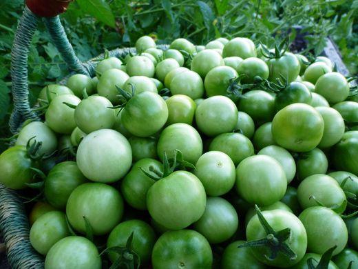 हिरवे टोमॅटो