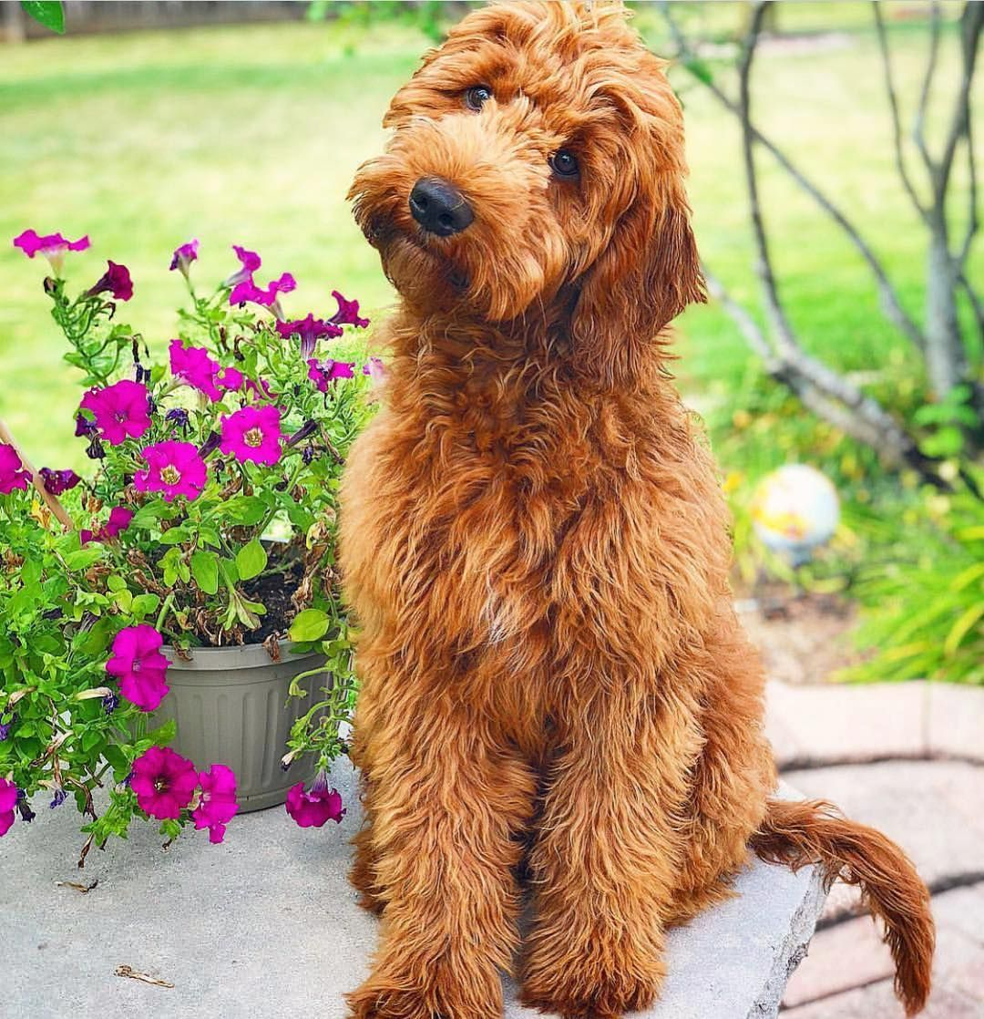 The Edition Of Doodletales Comes To A Close With An F1 Red Irish Goldendoodle N Dog Gifts Goldendoodle Dogs