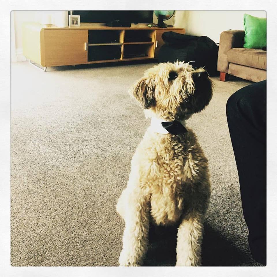Monty Soft Coated Wheaten Terrier | Pawshake