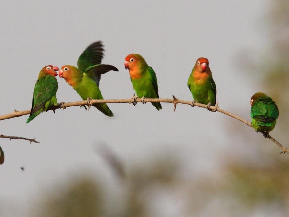 Lovebird Flying Cute Birds Love Birds Birds Wallpaper Hd