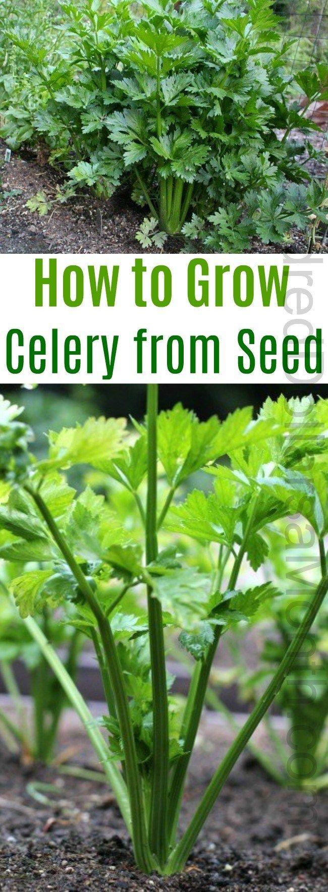 How To Grow Celery Start To Finish Celery Plant 400 x 300