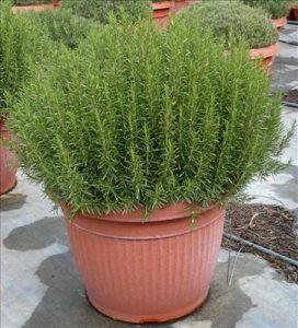 10 piante da balcone sempreverdi Piante da balcone, Erbe