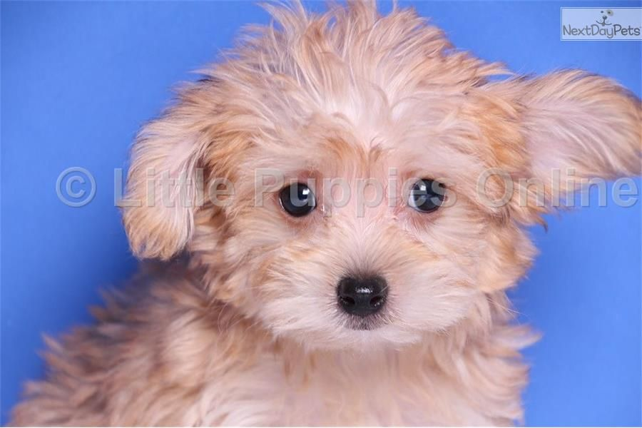 Meet Leo A Cute Morkie Yorktese Puppy For Sale For 499 Leo