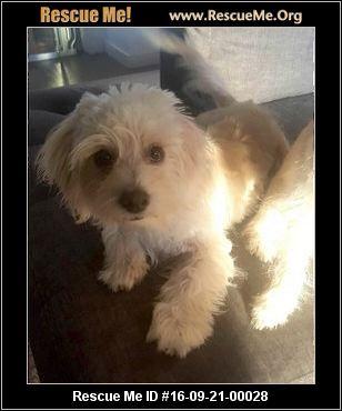 Washington Maltese Rescue Adoptions Rescueme Org Post Animal