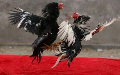 Cara Mencari Hari Kemenangan Dalam Adu Ayam Ayam Bangkok Aduan Ayam Bangkok Hewan