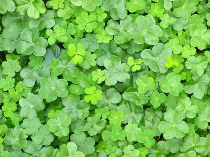 what does a four leaf clover mean