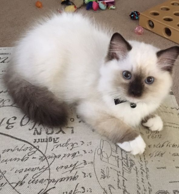 Photo of Oliver # – #Ragdoll #Kitten #de #el #Mes # # – #TIERE # – ## Kitten ## Month ## Oliver ## Ragdoll # …