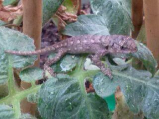 Baby Lizard.. I Saved fro Heavy Rains