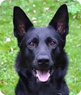 Oswego Il German Shepherd Dog Meet I M Adopted Action Jaxson