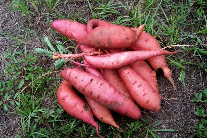 Farmer's Almanac on how to grow sweet potatoes, when to harvest, etc