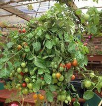 Hanging Basket Entry Number Twenty-nine #hangingbasket #garden #gardening #flowers #inspiration #summer