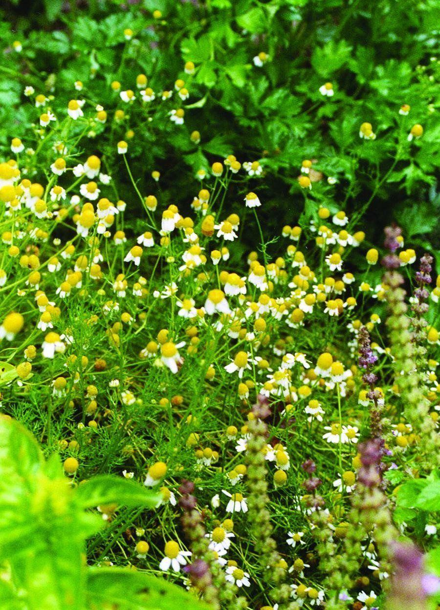 German Chamomile Herbs Medicinal Herbs Herb Seeds 640 x 480