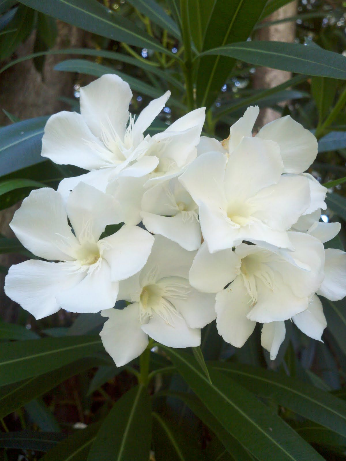 Nerium Oleander Mediterranean Garden Night Scented Plant Grows Up