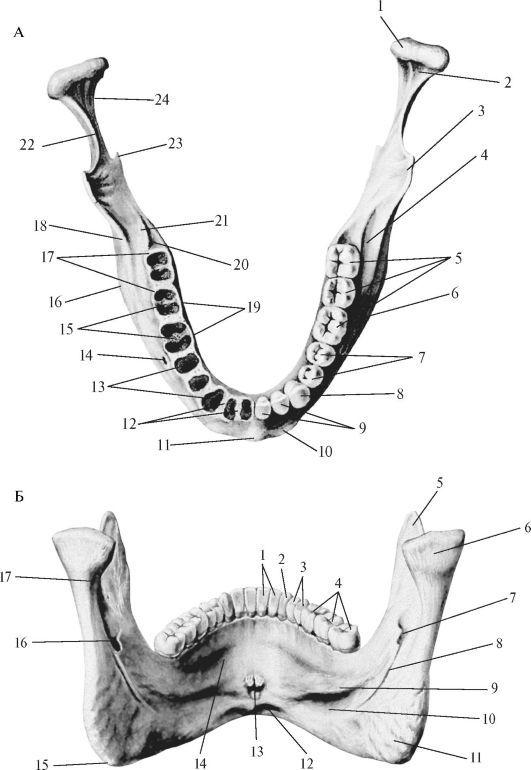 Строение нижней челюсти - вид сверху и сзади.jpeg (531×770 ...