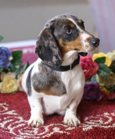 Love The Markings And Pattern With Images Dachshund Puppies