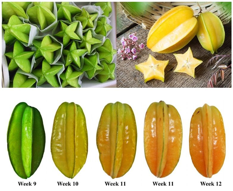 star fruit carambola fully rooted inch potted plants 4
