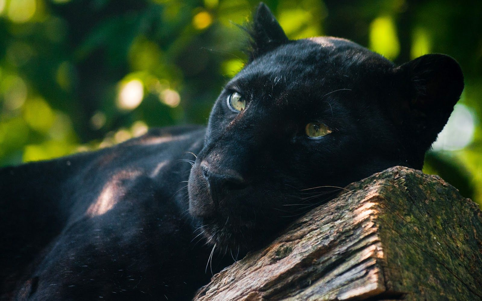 Black Jaguar Animal Wallpaper 10 Glamour Pinterest Panther