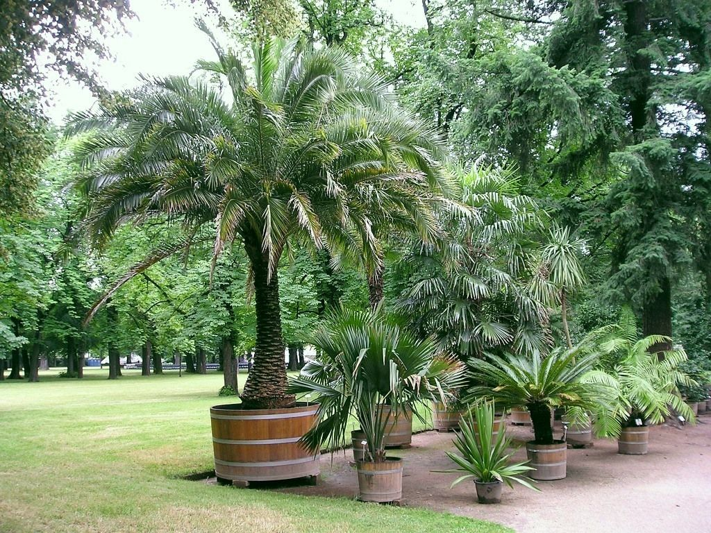 Small Palm Trees Guide Types That Grow 4 20 Feet Tall Pro Tips Small Palm Trees Palm Trees Landscaping Potted Palm Trees