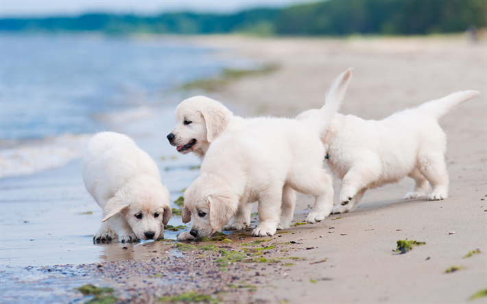 Download wallpapers retrievers, puppies, labradors, coast, dogs, pets, small labradors, cute dogs